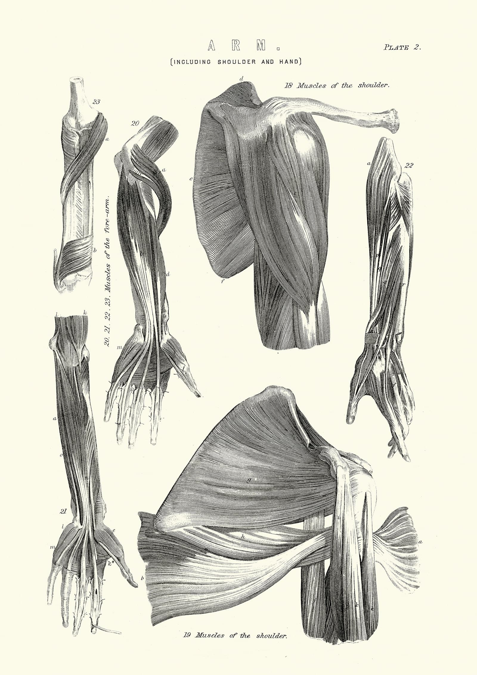 Greendragon sports cream Vintage engraving of Human anatomy, Muscles of the Arm including shoulder and hand, 19th Century